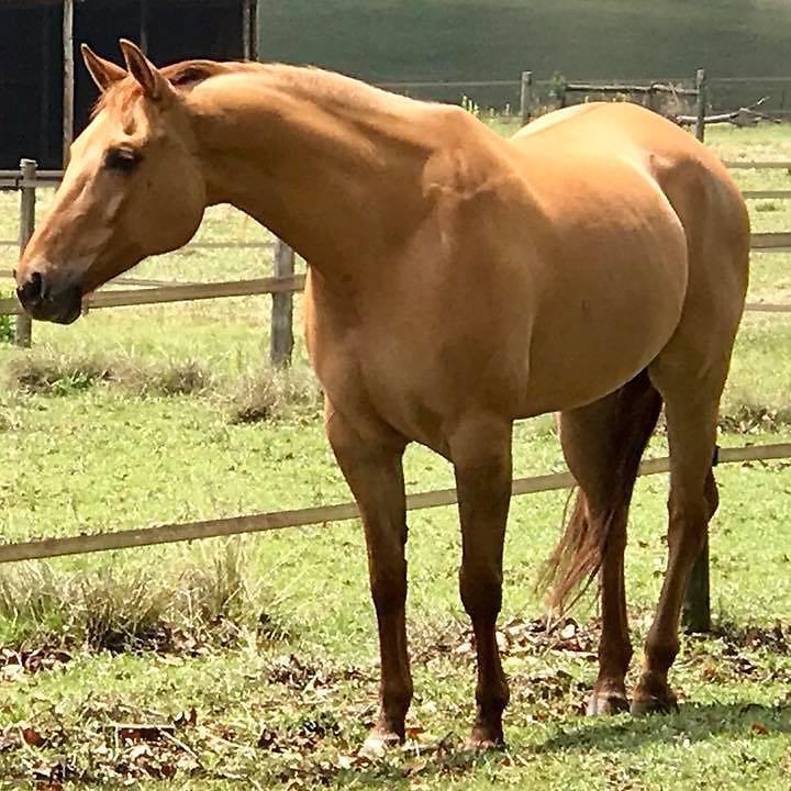South African Quarter Horse Association - Horse Details